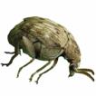 Callosobruchus phaseoli (Gyllenhal, 1833) ...