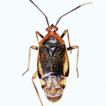 Materials on the fauna of true bugs (Heteroptera) ...