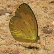 Occasional photographic records of butterflies ...