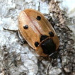 First records of the Dendroxena quadrimaculata ...