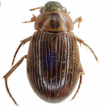 New records of water scavenger beetles ...