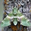 A list of Sphingidae (Lepidoptera) of ...