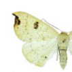 New records of geometrid moths of the ...